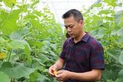 """Quảng Bình: """"Đánh liều"""" bỏ ra cả tỷ đồng trồng dưa lưới công nghệ cao trên cát"""