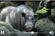 Clip: Nông dân tỉnh Hà Giang nuôi lợn nanh, cặp nanh của con lợn nặng 2 tạ có người trả cả triệu đồng