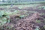 Bệnh khảm lá lan rộng 19 tỉnh thành, nông dân đứng ngồi không yên vì giá sắn đang tăng