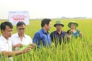 Giống lúa TBR225 có gì đặc biệt mà nông dân Vĩnh Phúc đua nhau trồng?