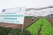 Chúc Sơn thành công với chuỗi sản xuất rau sạch, mỗi ngày bán 3 tấn cho siêu thị