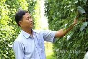 """Trai Bình Phước 18 năm """"ăn ngủ"""" cùng cây tiêu, ước mơ chế biến hồ tiêu hữu cơ cho người Việt"""