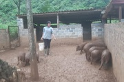 Hòa Bình: Vào HTX nuôi lợn bản địa, thương lái biết tiếng, bà con rủ nhau đến học hỏi