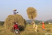 'Chạy rơm' giữa ngày nắng nóng ở vùng quê Nghệ An