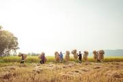 Chùm ảnh: Ngày mùa rộn ràng trên cánh đồng vàng ở tỉnh Nghệ An, chợt thấy cô thôn nữ xinh như hotgirl