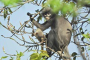 Phát hiện giống voọc chưa từng được biết tới ở Myanmar