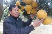 """Ông nông dân tỉnh Sơn La trồng giống bưởi gì mà chưa tết thương lái đã đặt """"khuân"""" cả vườn?"""