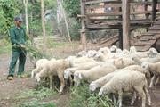 Phú Yên: Giúp hộ nghèo chăn nuôi, nhân đàn gia súc lớn