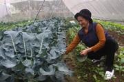 Sản xuất hữu cơ - nông dân khỏe, thu nhập tăng