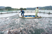 Video: Hơn 20 nghìn ha mặt nước, vùng núi Sơn La thành trung tâm giống, nuôi trồng thủy sản lớn nhất vùng Tây Bắc