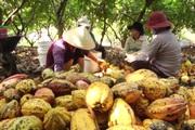 Đồng Nai: Người tìm hướng đi vững chắc cho cây ca cao Xuân Lộc