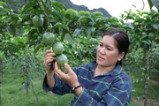 Sơn La: Mua phân bón kiểu này, cuối vụ mới phải trả tiền, nông dân yên tâm chăm cây trái