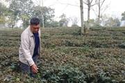 Tuyên Quang: Người trồng chè mất ăn mất ngủ vì bị hủy hợp đồng giao khoán