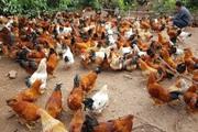 Hải Dương: Vì dịch Covid-19, hơn 1,2 triệu con gà thả vườn ở Chí Linh chưa bán được, nông dân đau đầu