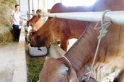 Quảng Trị: Nuôi bò nhốt chuồng toàn giống bò to khỏe, chăm nhàn, ở đây nhà nào nuôi nhà đó khá giả