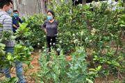 Trồng hơn 200 cây anh túc để làm... rau nuôi lợn