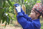 Đưa cây ăn quả lên đất dốc, nông dân Chiềng Hặc có thu nhập cao
