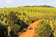 Đắk Nông: Tiêu đã mất mùa còn mất giá, nông dân khó chồng khó