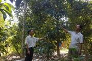 """Quảng Nam: Cây """"Nữ hoàng"""" là loài cây gì mà một năm huyện này hái trái ngon bán thu vài chục tỷ đồng?"""