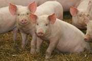 Giá nông sản hôm nay 3/2: Lợn hơi sắp xuống dưới 80.000 đồng/kg?