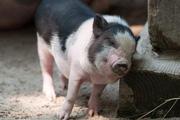 Giá nông sản hôm nay 4/2: Lợn hơi chững giá, tiêu chạm đáy 50.500 đồng/kg
