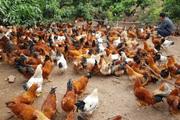 Hải Dương: Kết nối doanh nghiệp, tìm cách tiêu thụ 1,2 triệu con gà Chí Linh