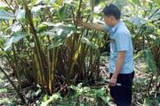 """Vì sao loài cây ra quả ở gốc, thu nhập trăm triệu này lại thành """"sát thủ"""" rừng tự nhiên ở Lào Cai?"""