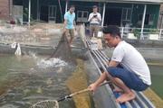 Đưa cá ra sông Đà nuôi trong lồng, ngư dân đút túi hàng trăm triệu đồng