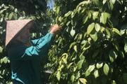 """Giá tiêu hôm nay 12/3: Lập đỉnh, mùa thu hoạch """"lạ thường"""" ở Gia Lai, có nhà thuê tới 30 người hái tiêu"""