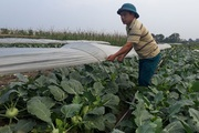 Hà Nội: Nông dân phấn khởi khi giá rau xanh đã tăng nhanh chóng