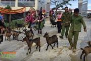 Lai Châu: Nuôi lợn, dê sinh sản, người dân vùng cao có điều kiện cải thiện đời sống