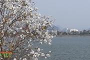 Thành phố Lai Châu đẹp lên trong mùa ban khoe sắc