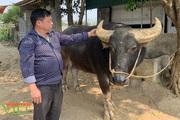 Mua trâu về vỗ béo, một nông dân ở Lai Châu giàu lên trông thấy