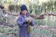 Nông dân Yên Châu phấn khởi khi tỏi được mùa, được cả giá