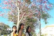 Hoa kèn hồng là hoa gì mà người dân ở các tỉnh miền Tây ùn ùn kéo đến Sóc Trăng để ngắm và chụp hình?