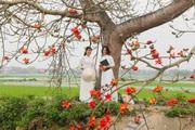 Hà Nam: Mê mẩn con đường hoa gạo đỏ rực