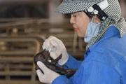 Cận cảnh: Quy trình nhân bản 4 con lợn Ỉ quý hiếm từ mẫu tai