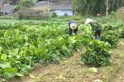 Bắc Cạn: Trồng giống rau cải khổng lồ, 2 tháng nặng 2,5kg/cây, Nhật Bản mua tới tấp