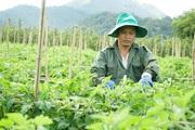 Nông dân Điện Biên điêu đứng vì dịch Covid - 19