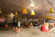 CLIP: Nghịch lý giá gà thịt giảm, giá thức ăn chăn nuôi liên tục tăng, có hộ phải vay nợ tới 1,7 tỷ đồng