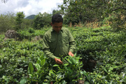 Mai Châu phát triển nông nghiệp gắn với thu nhập cho nông dân