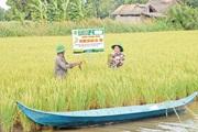 Trồng lúa hữu cơ để né hạn mặn, xuất khẩu sang châu Âu, nhà nông thu lãi lớn