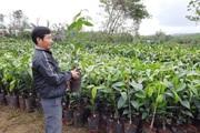 """Quảng Nam: Chọn 9 nơi trồng cây """"nữ hoàng"""", loại cây cho thu tiền tỷ mỗi năm"""