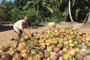 Trà Vinh: Giá dừa khô tăng lên 85 nghìn/chục, nguồn cung khan hiếm