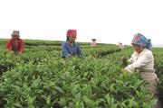Lai Châu: Xây dựng hơn 200 mô hình nông dân liên kết sản xuất hiệu quả nhờ vốn Quỹ Hỗ trợ nông dân