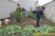 Công an phát hiện 600 cây thuốc phiện trồng trong nhà con trai, mẹ già 72 tuổi nhận mình trồng để chữa bệnh