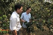 8X Sơn La bật mí cách trồng táo ra quả sai như nho