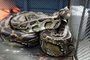 Nghẹt thở bắt được loài rắn dài nhất thế giới nặng như người trưởng thành trong chuồng gà