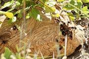 """Những dị nhân """"cả gan"""" săn hung thần ong vò vẽ - loài ong có nọc độc cực mạnh trong rừng U Minh Hạ"""