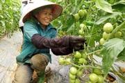HTX Nông nghiệp Mường Tấc sản xuất nông nghiệp theo hướng hữu cơ